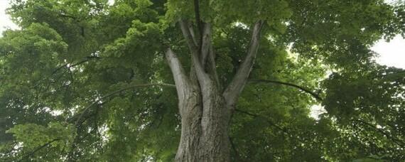 Linde ist Baum des Jahres 2021
